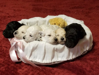 Blissful Toy Poodles Teacup And Toy Purebred Poodles Based